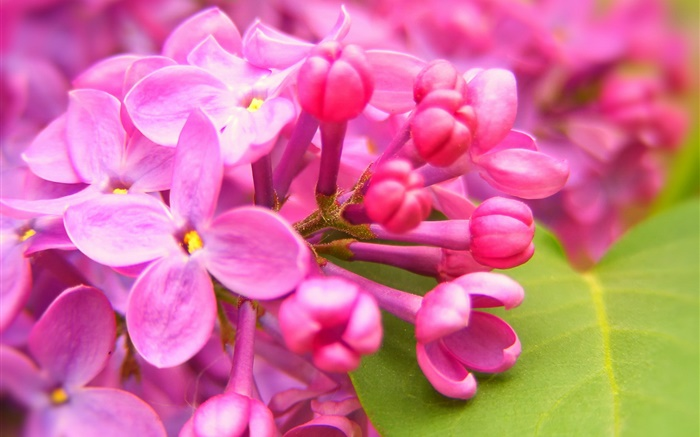 http://cn.hdwall365.com/wallpapers/1606/Pink-lilac-flowers_m.jpg