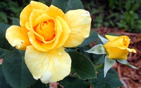 Yellow rose flowers 高清壁纸